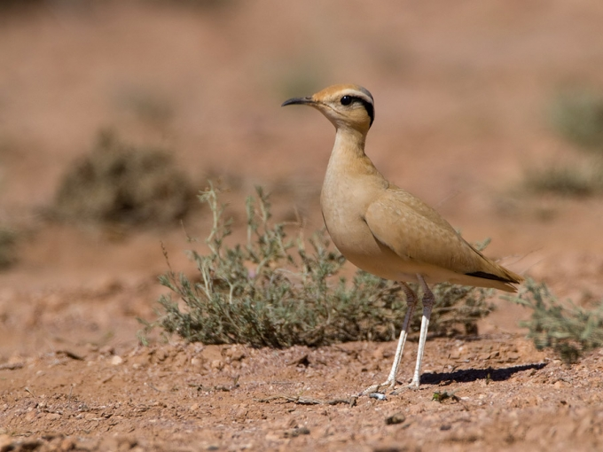 renvogel-cream-colored-courser-10