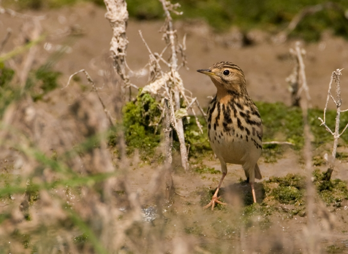 roodkeelpieper-red-throated-pipit-01