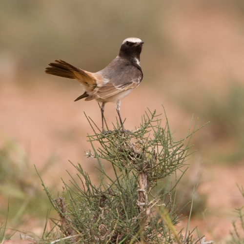roodstuittapuit-red-rumped-wheatear-04