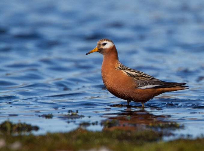rosse-franjepoot-red-phalarope-07