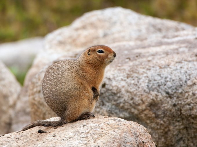 grondeekhoorn-ground-squirrel-01