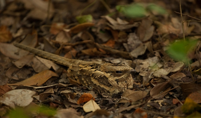 mozambikaanse-nachtzwaluw-long-tailed-nightjar-01