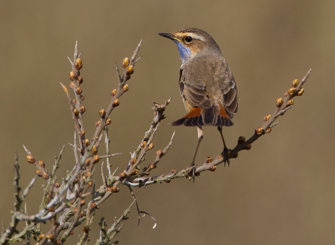 blauwborst-bluethroat-02