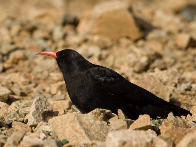 alpenkraai-red-billed-chough-03