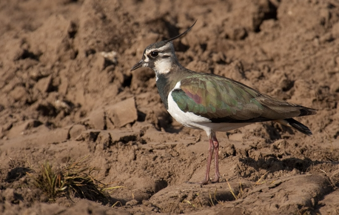 kievit-lapwing-01