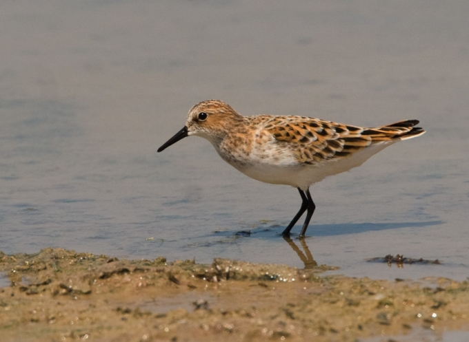 kleine-strandloper-little-stint-01