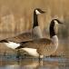 canadese-gans-canada-goose-14