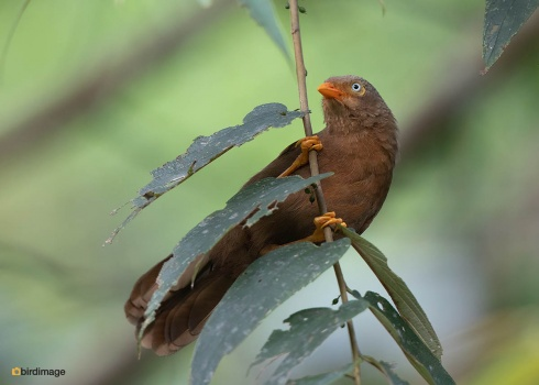 Ceylonese-babbelaar-Orange-billed-babbler-03