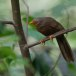 Ceylonese-babbelaar-Orange-billed-babbler-02