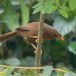 Ceylonese-babbelaar-Orange-billed-babbler-04