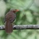 Ceylonese-babbelaar-Orange-billed-babbler-05