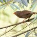 Ceylonese-babbelaar-Orange-billed-babbler-06