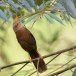 Ceylonese-babbelaar-Orange-billed-babbler-07