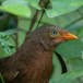 Ceylonese-babbelaar-Orange-billed-babbler-08