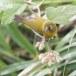 Ceylonese-brilvogel-Sri-Lanka-white-eye-02