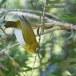 Ceylonese-brilvogel-Sri-Lanka-white-eye-03