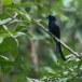 Ceylonese-kuifdrongo-Sri-Lanka-Drongo-01