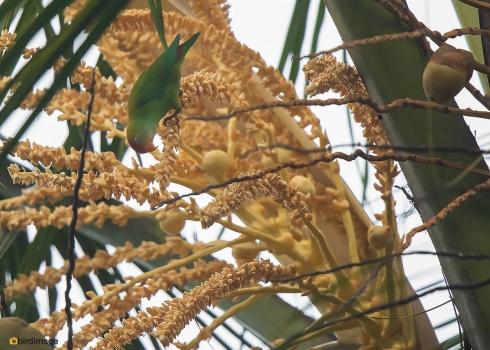 Ceylonese-vleermuisparkiet-Sri-Lanka-hanging-parrot-02