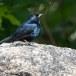 Ceylonfluitlijser-Sri-Lanka-Whistling-Thrush-01