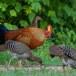 Ceylonhoen-Sri-Lankan-junglefowl-02