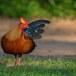 Ceylonhoen-Sri-Lankan-junglefowl-03