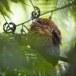 Ceylonkikkerbek-Sri-Lanka-frogmouthSri-Lankan-frogmouth-01