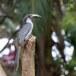 Ceylon-tok-Sri-Lanka-Grey-hornbill-04