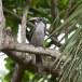 Ceylon-tok-Sri-Lanka-Grey-hornbill-05