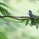 Ceylonvliegenvanger-Dull-blue-flycatcher-01