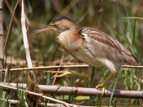 chinees-woudaapje-yellow-bittern-03