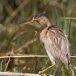 chinees-woudaapje-yellow-bittern-02