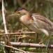 Chinees woudaapje – Yellow Bittern