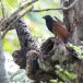 Chinese-spoorkoekoek-Greater-coucal-01