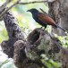Chinese-spoorkoekoek-Greater-coucal-02
