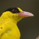 Chinese wielewaal – Black-naped Oriole