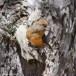 Cypriotische kruisbek - Red Crossbill Cyprus 04