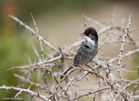 Cyprusgrasmus - Cyprus Warbler 04
