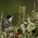 Cyprusgrasmus - Cyprus Warbler 01
