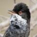 Cyprusgrasmus – Cyprus Warbler