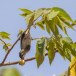 Geelsnavelhoningvogel-Pale-billed-flowerpecker-03