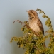 Draaihals &#8211; Wryneck