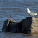 drieteenmeeuw-black-legged-kittiwake-03