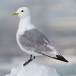 drieteenmeeuw-black-legged-kittiwake-06