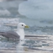 drieteenmeeuw-black-legged-kittiwake-07