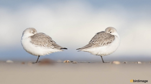 Drieteenstrandloper- Sanderling 16