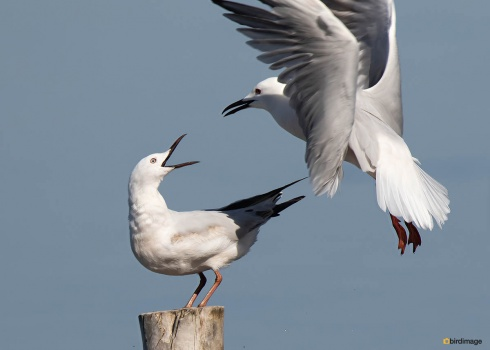 Dunbekmeeuw-Slender-billed-Gull09