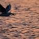 Dunbekmeeuw-Slender-billed-Gull-02