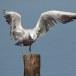 Dunbekmeeuw-Slender-billed-Gull10