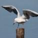 Dunbekmeeuw-Slender-billed-Gull11