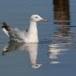 Dunbekmeeuw-Slender-billed-Gull13